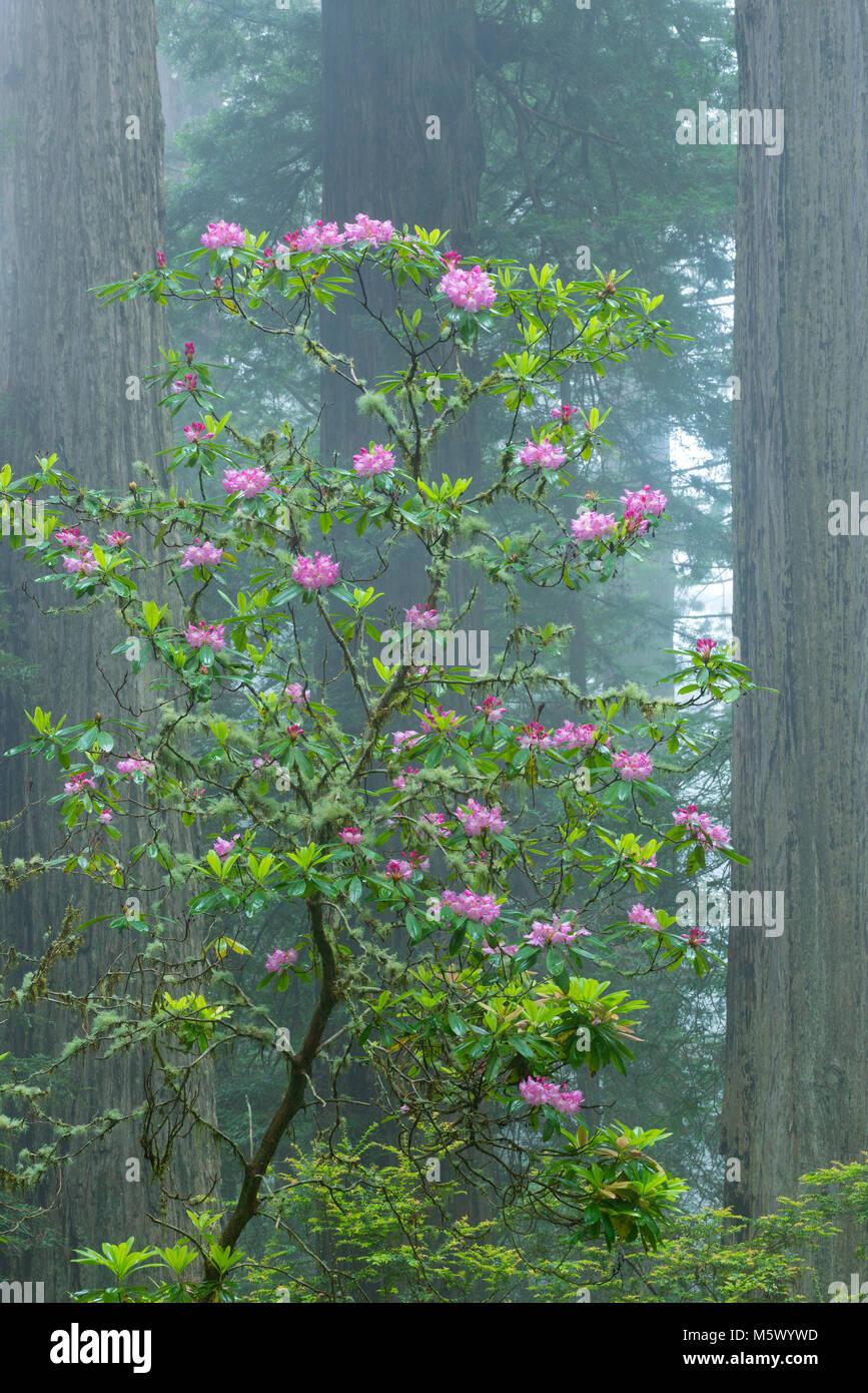 Rhododendron Blüte, Küstennebel, Verdammnis Creek, Del Norte Redwoods State Park, Redwood National- und Stockbild