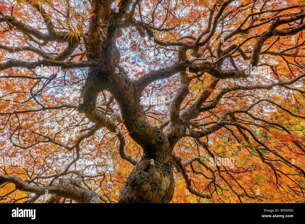 Japanischer Ahorn, Laceleaf, Acer palmatum, Farn Schlucht Garten, Mill Valley, Kalifornien Stockbild