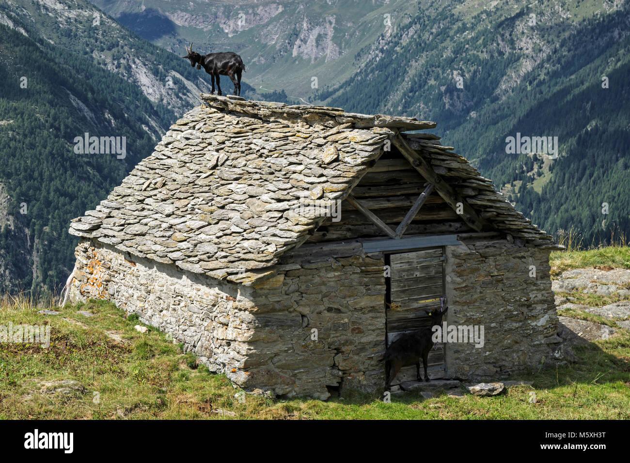 ziege capra der sich auf dem dach einer alten h tte aus stein in der n he der alpe corte del. Black Bedroom Furniture Sets. Home Design Ideas