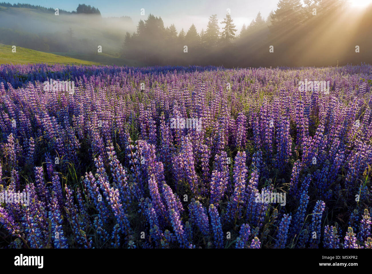 Lupine, Lupinus angustifolius, Hebezeuge Nebel, Williams Ridge, Redwood National Park, Kalifornien Stockbild