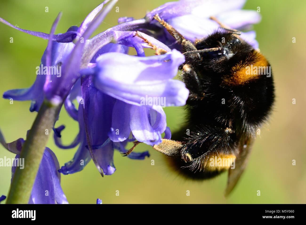 Makroaufnahme einer Hummel bestäubt eine Bluebell Blume Stockbild