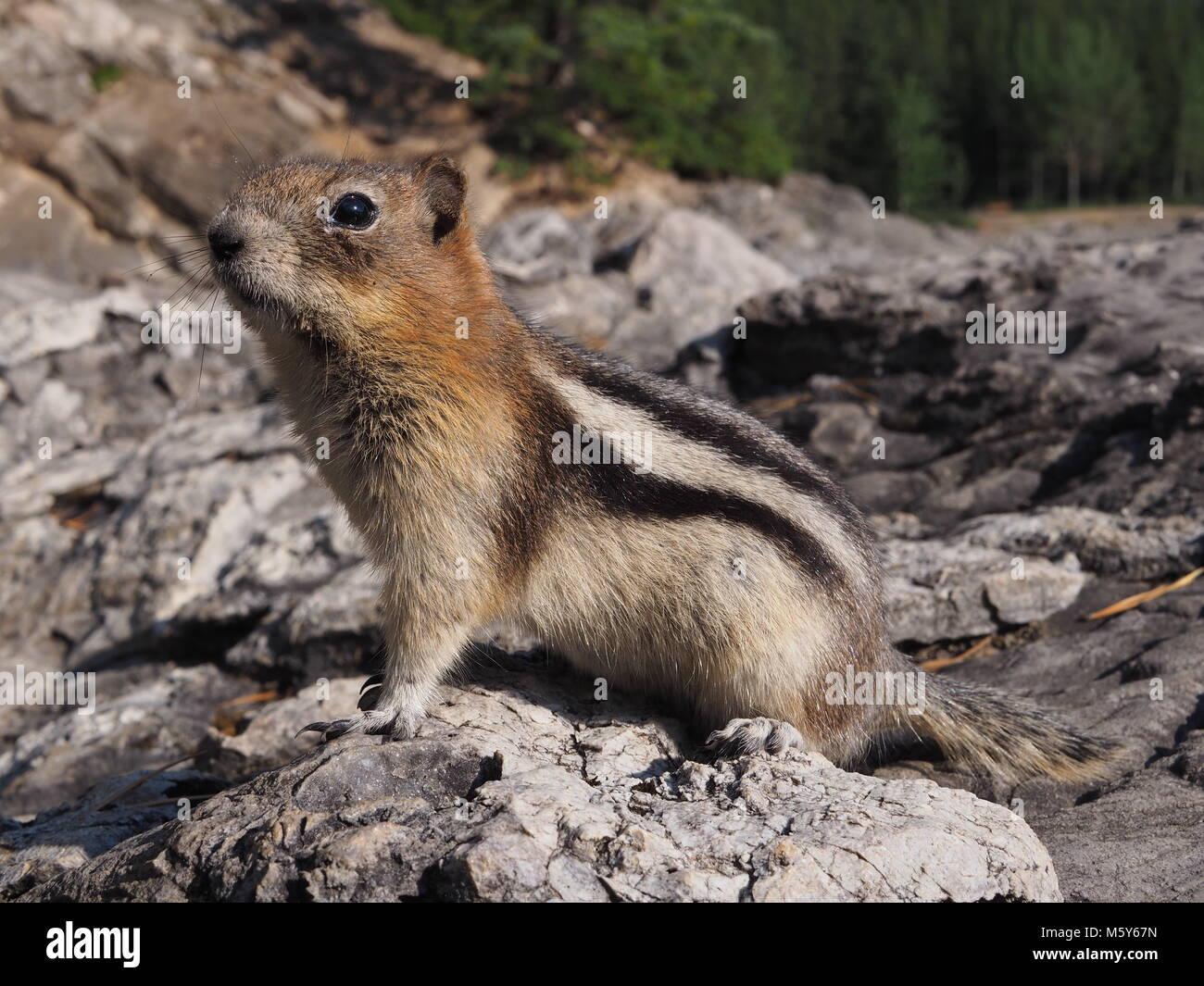 Golden-mantled ground squirrel, kanadische Rockies Stockbild
