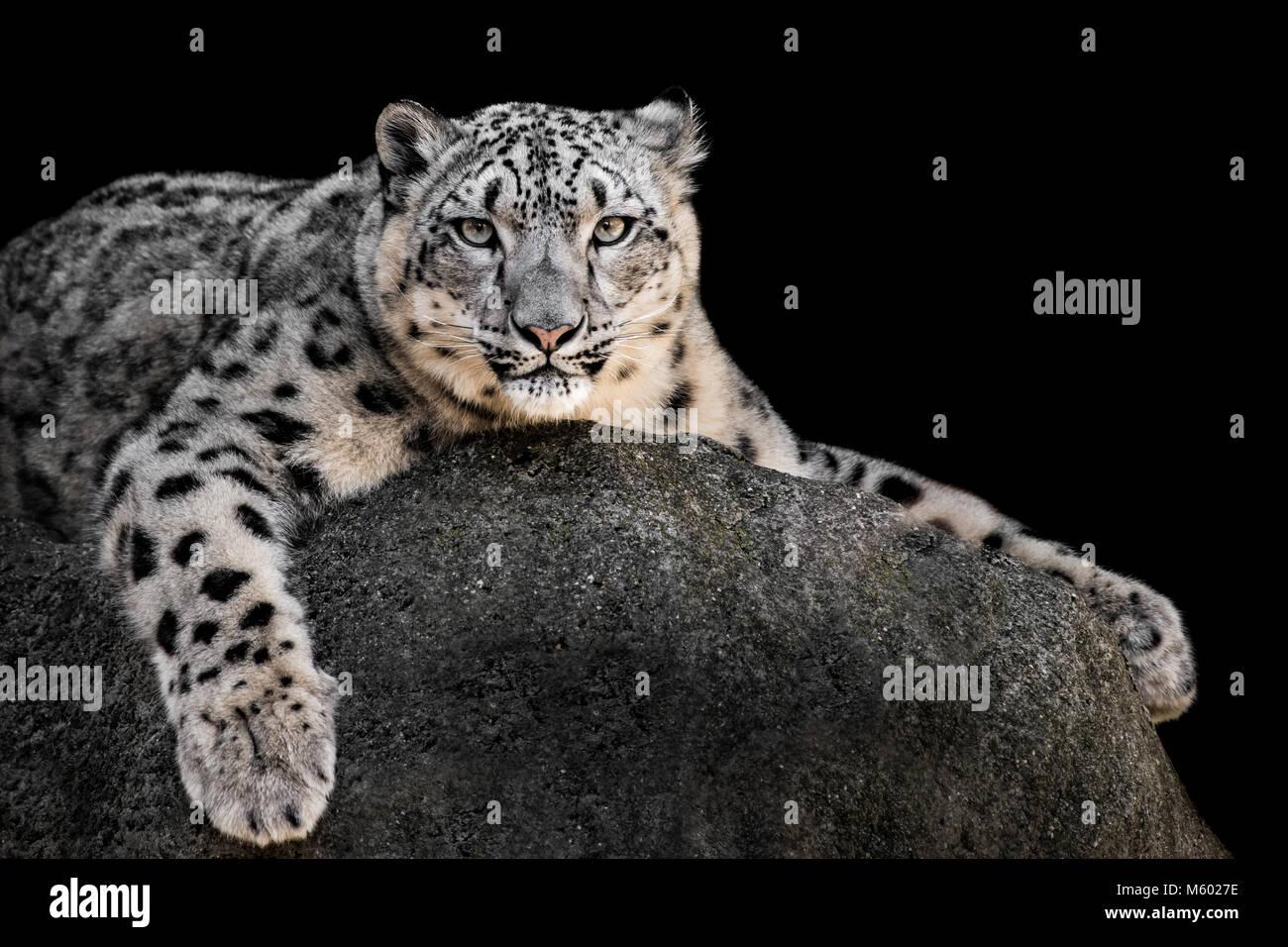 Snow Leopard XXII Stockbild