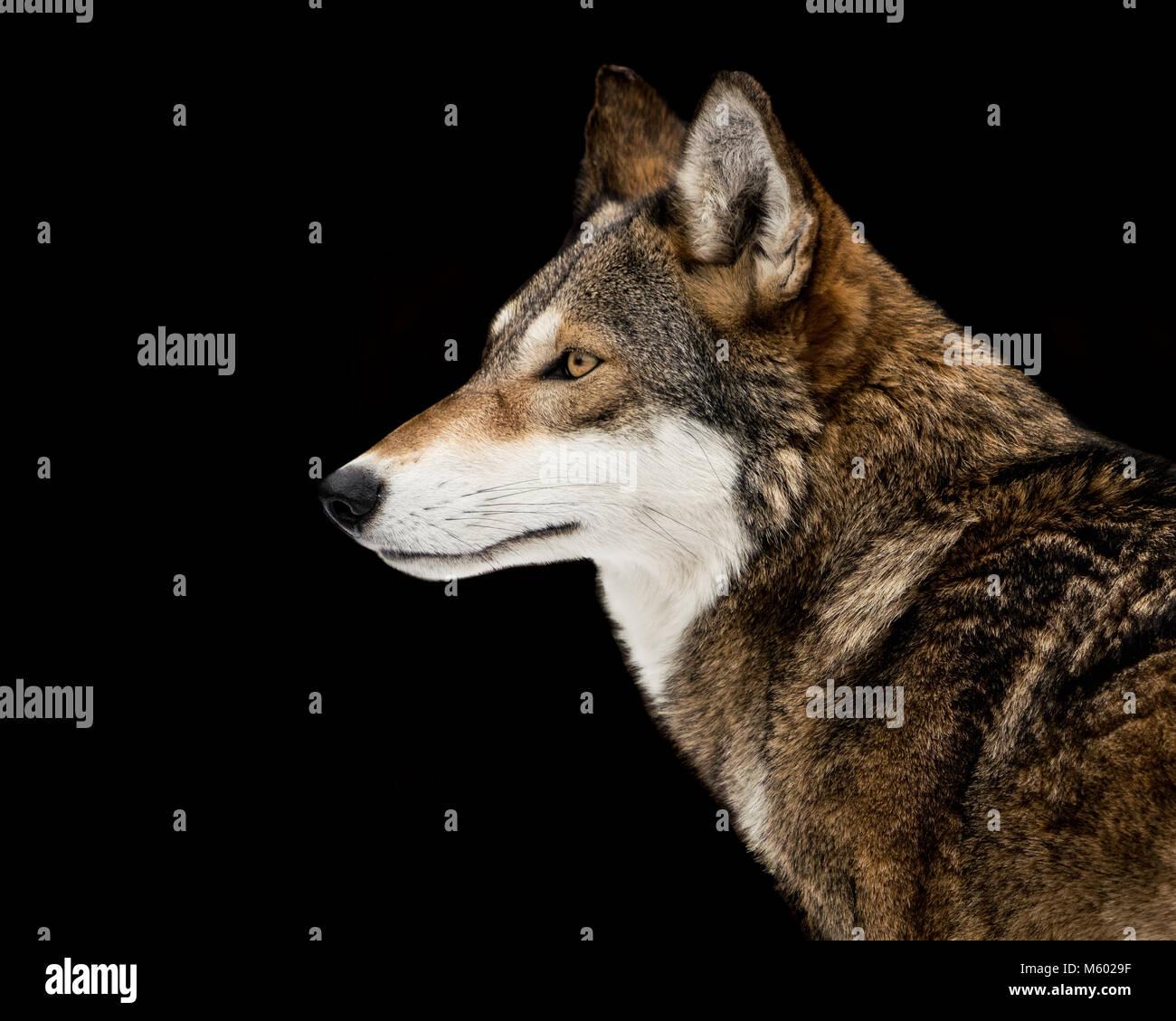 Red Wolf Stockbild