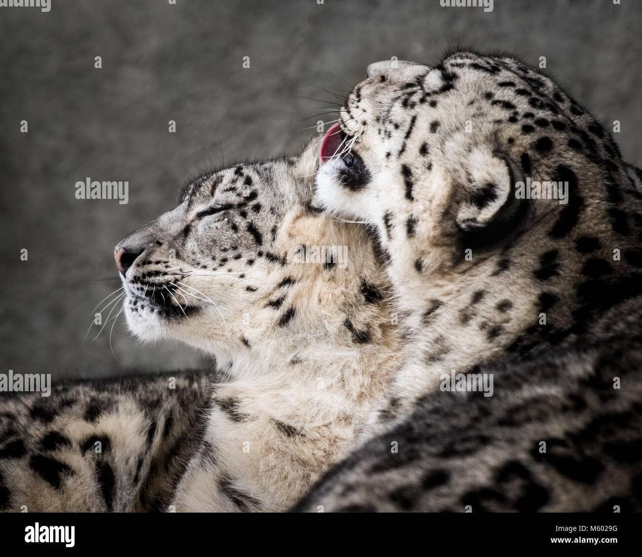 Snow Leopard Paar II. Stockbild