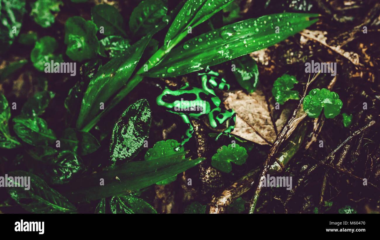 Costa Rica grüner und schwarzer Frosch in zwischen Blättern im Regenwald Stockbild