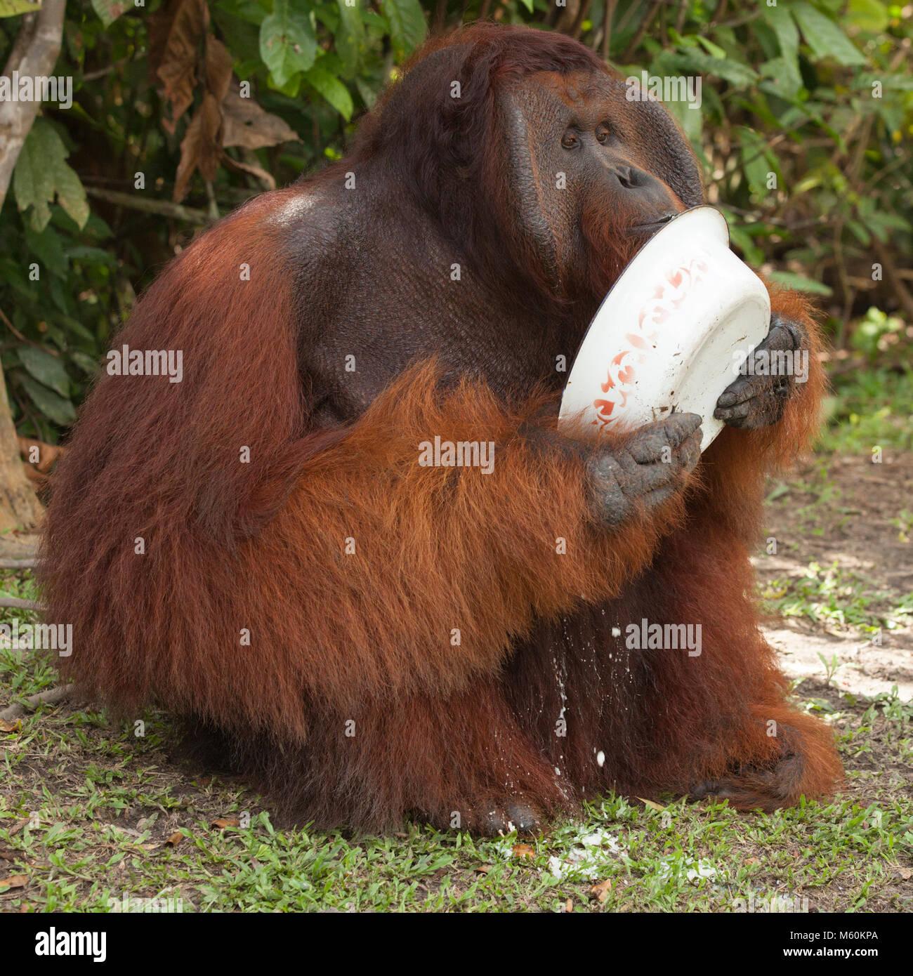 Wild Orang-utan dominante Männchen (Pongo pygmaeus) Essen zusätzliche Essen im Camp Leakey in Tanjung Stockbild