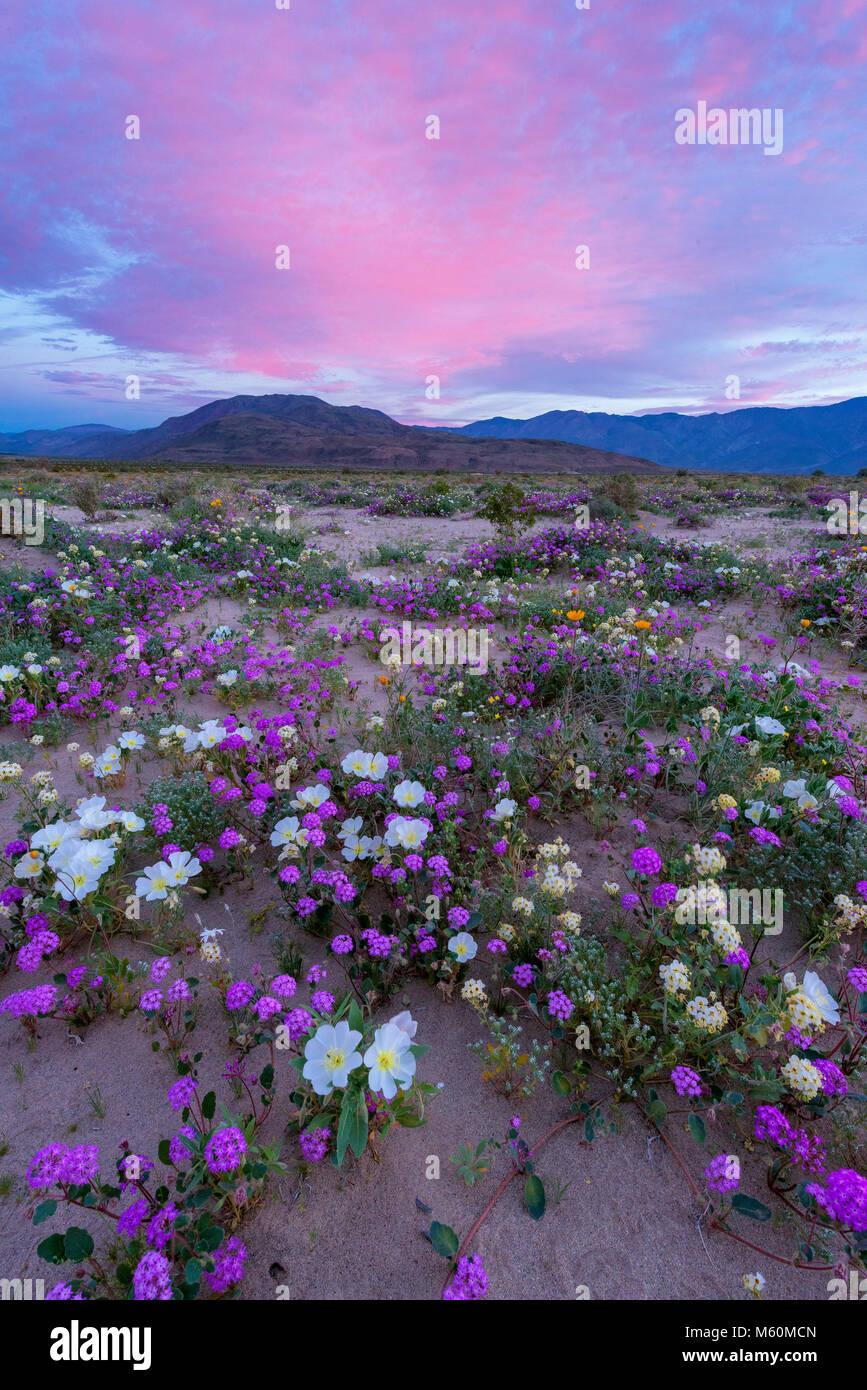 Dawn, Sand Verbena, Morning Glory, Dune Nachtkerze, Anza-Borrego Desert State Park, Kalifornien Stockbild