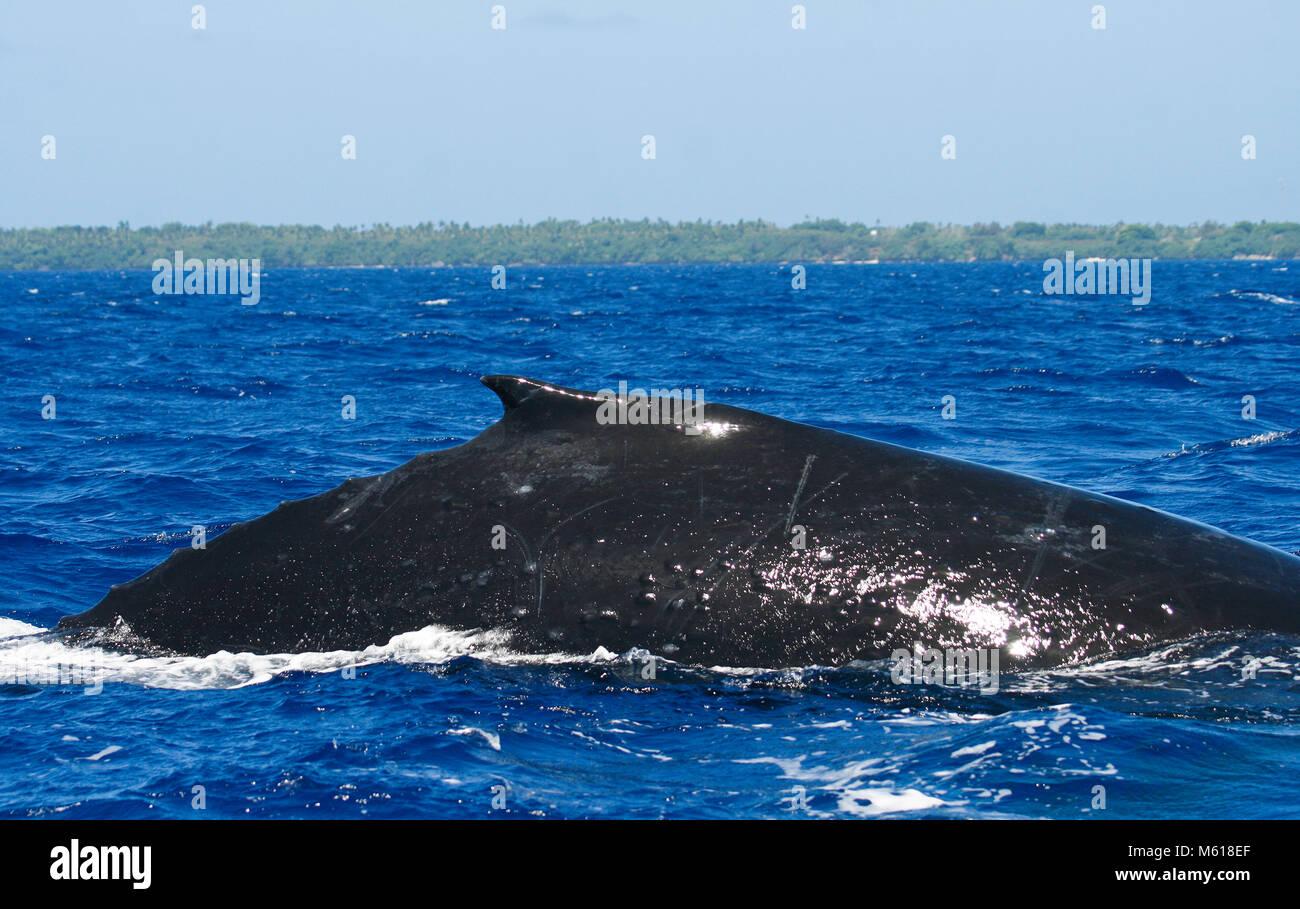 Buckelwal (Impressionen Novaeangliae). Tonga-Inseln. Polynesien Stockfoto