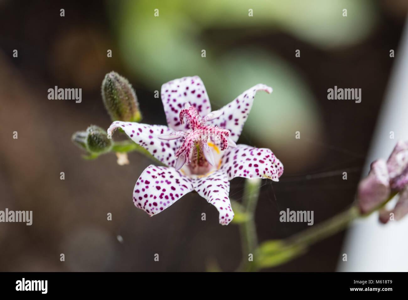 Japanische Krötenlilie Stockfotos & Japanische Krötenlilie Bilder ...