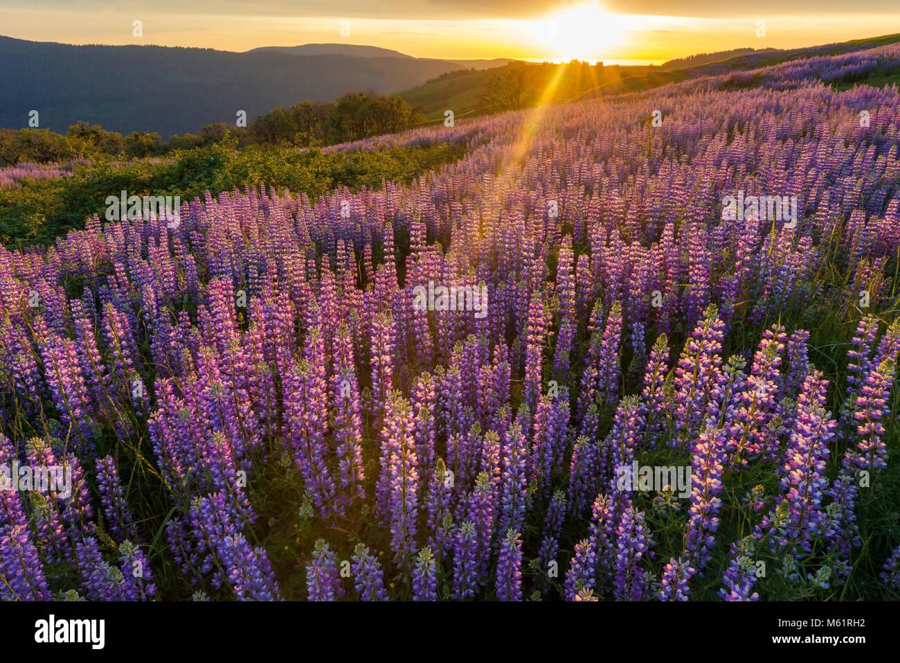 Sonnenuntergang, Lupine, Lupinus angustifolius, Childs Hill Prairie, Redwood National Park, Kalifornien Stockbild