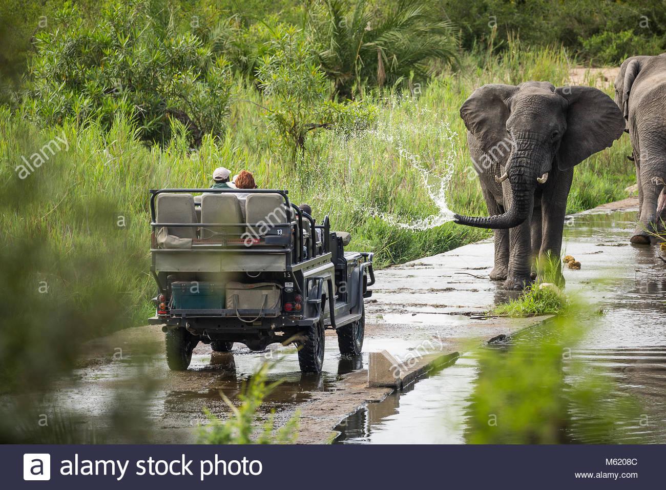 Ein großer Bulle Afrikanischer Elefant, Loxodonta africana, Sprays Wasser auf dem Weg zu einer Safari Fahrzeug. Stockbild
