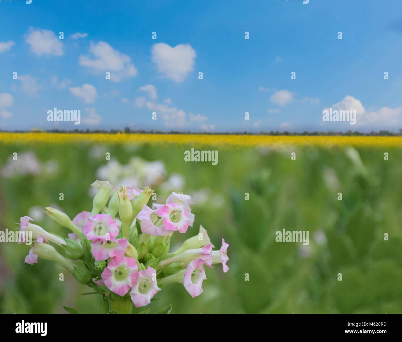 Abstrakte Soft Focus von Tabak Blume im tabakfeld Plantage mit den Sonnenblumen Feld Werk, Sunn Hanf, Indischer Stockbild