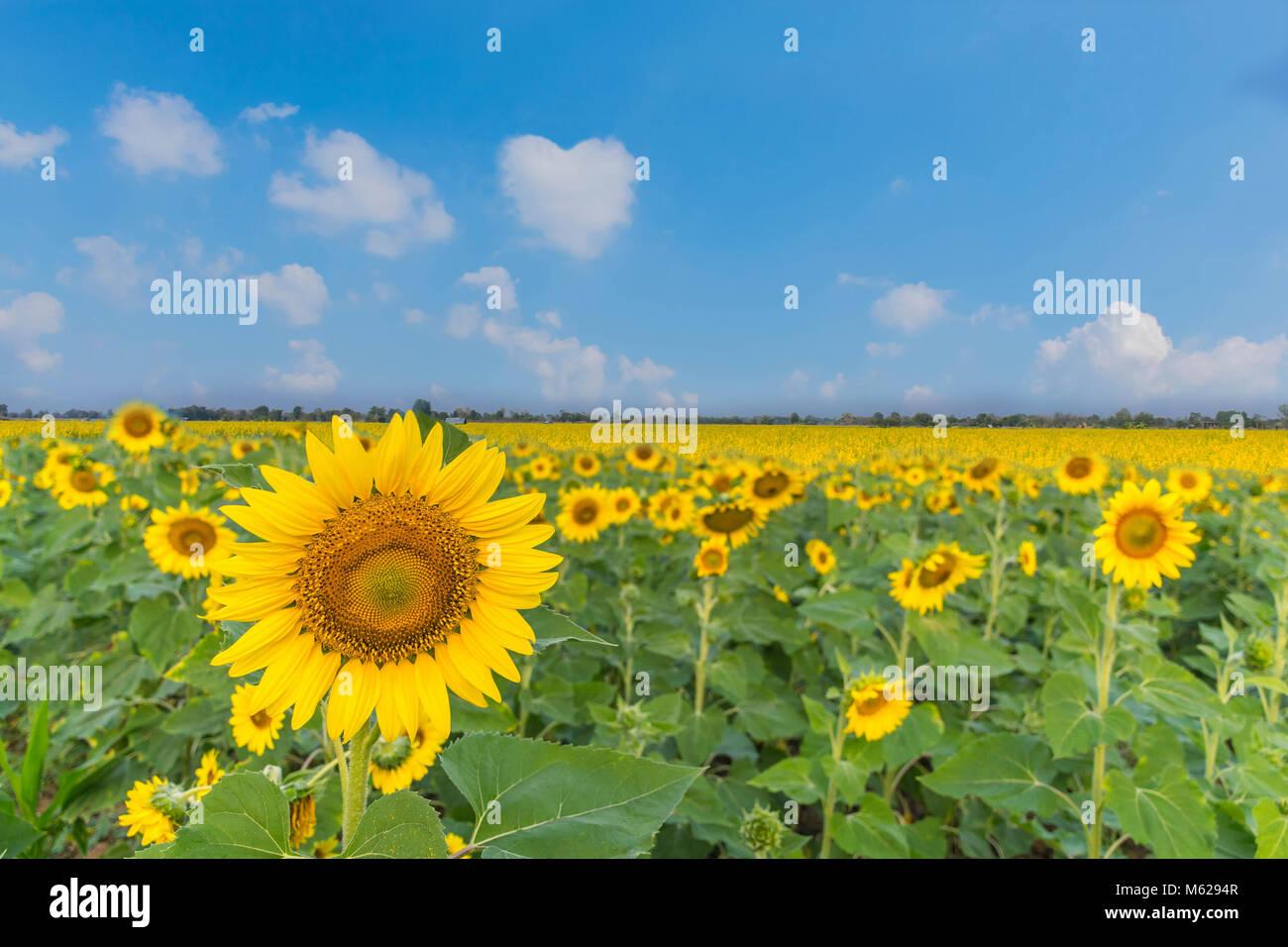 Die schöne Sonnenblumen Feld Werk mit dem Sunn Hanf, Indischer Hanf Hanf, Chanvre, Madras, Indien, CROTALARIA Stockbild