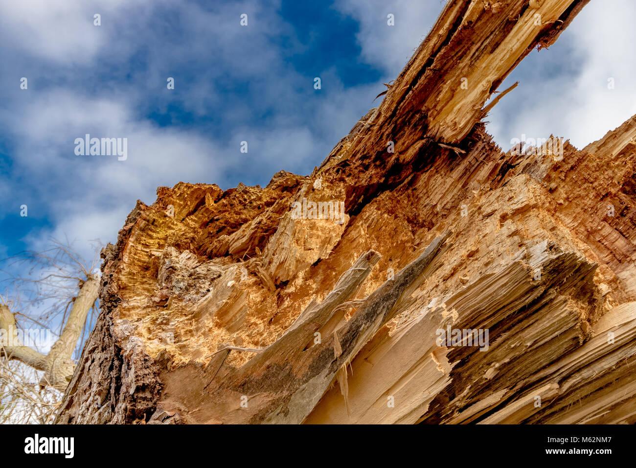 Nahaufnahme von einer verfallenden, gefallenen Esche, zeigt die gezackten, zerbrochene Scherben von Holz Stockbild