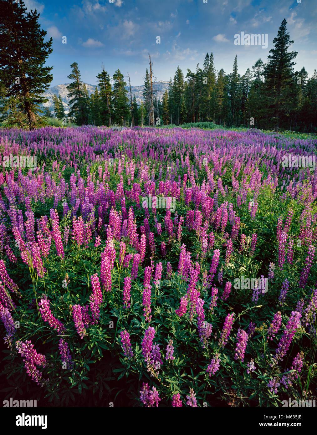 Lupine, Pferd Weide, Emigrant Wilderness, Stanislaus National Forest, Sierra Nevada, Kalifornien Stockbild