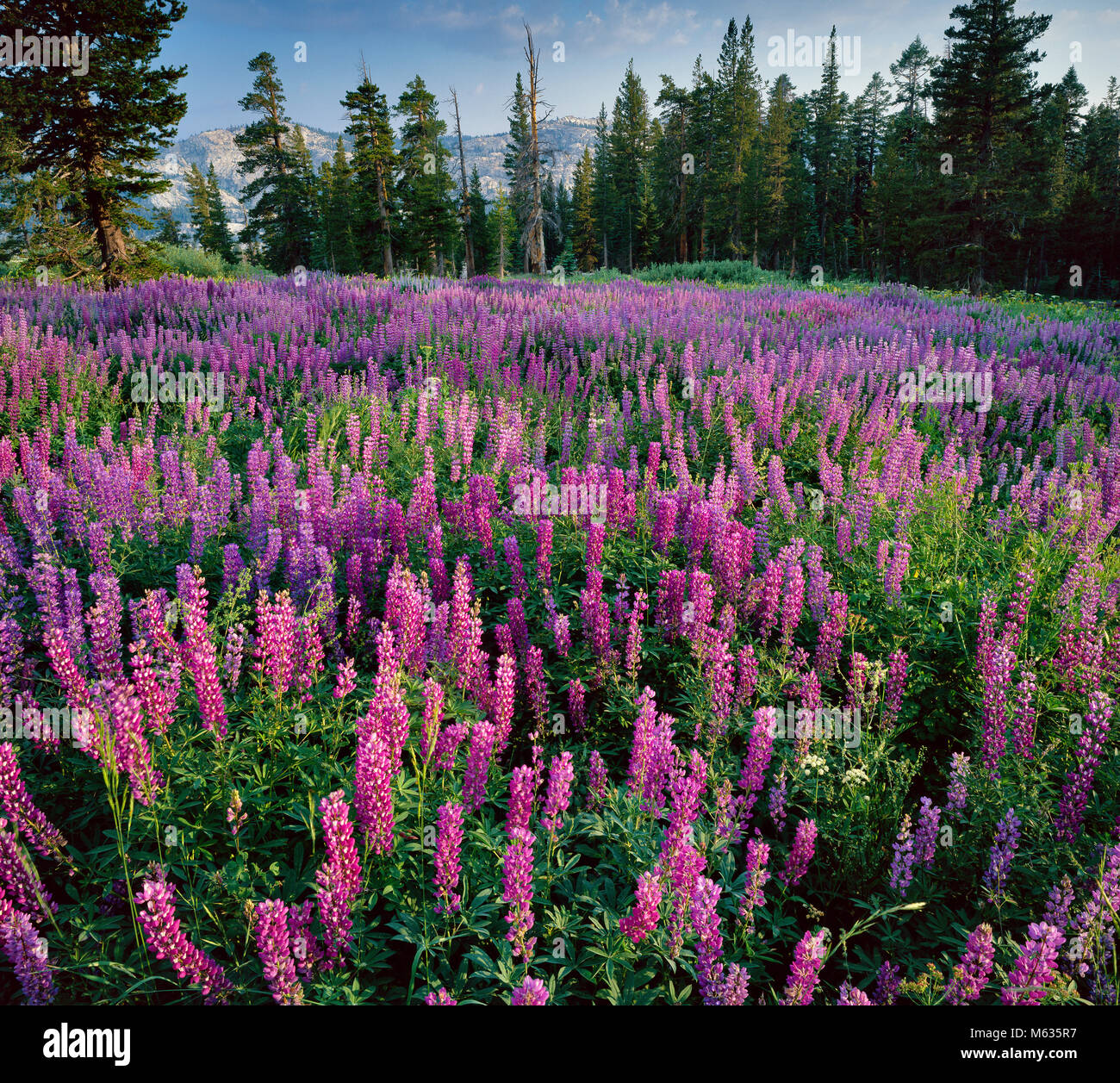 Lupine, Pferd Weide, Emigrant Wilderness, Stanislaus National Forest, Sierra Nevada, Kalifornien Stockbild
