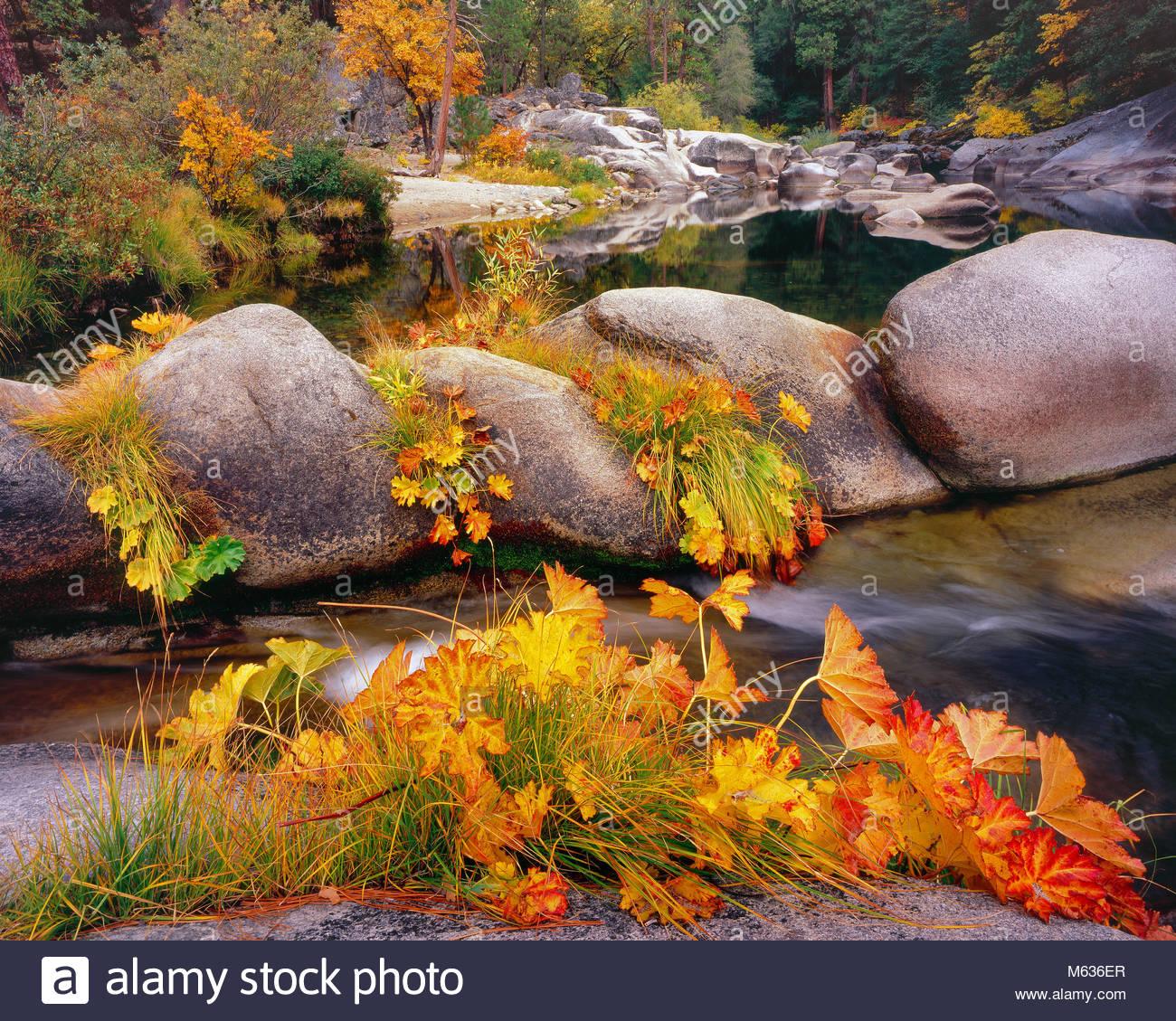 Indische Rhabarber, Darmera peltata, Merced River, Yosemite National Park, Kalifornien Stockbild