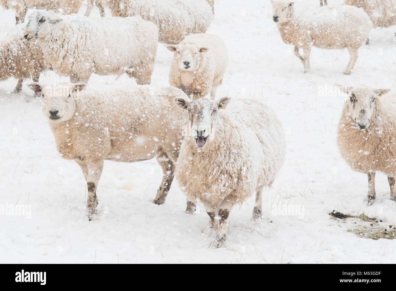 Balfron, Stirlingshire, Schottland, UK. 28 Feb, 2018. UK Wetter - Schafe in der Hoffnung auf Nahrung bei starkem Stockbild