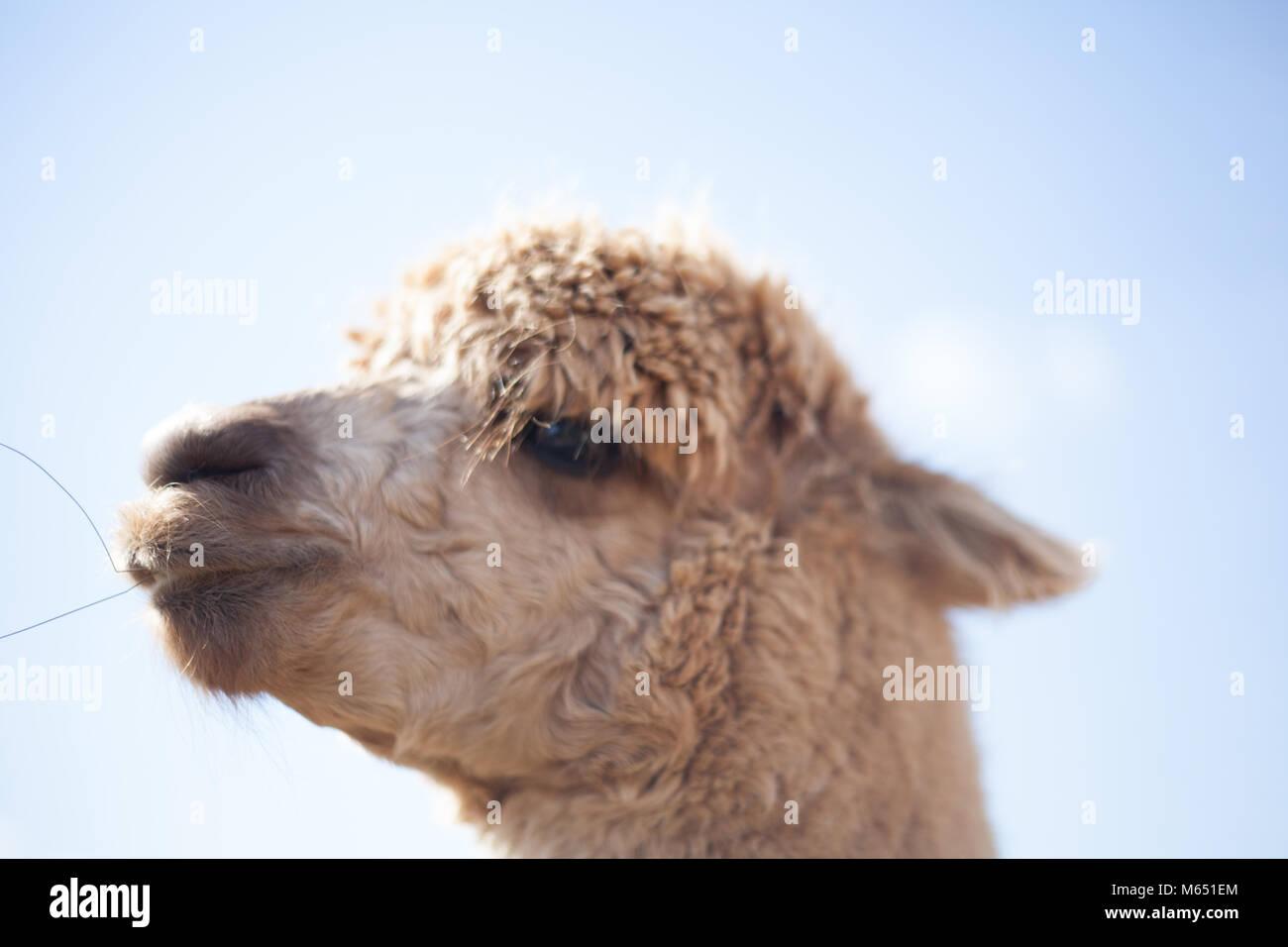 Nahaufnahme von einem Lama zeigen Charakter und Persönlichkeit an einem sonnigen Tag Stockbild