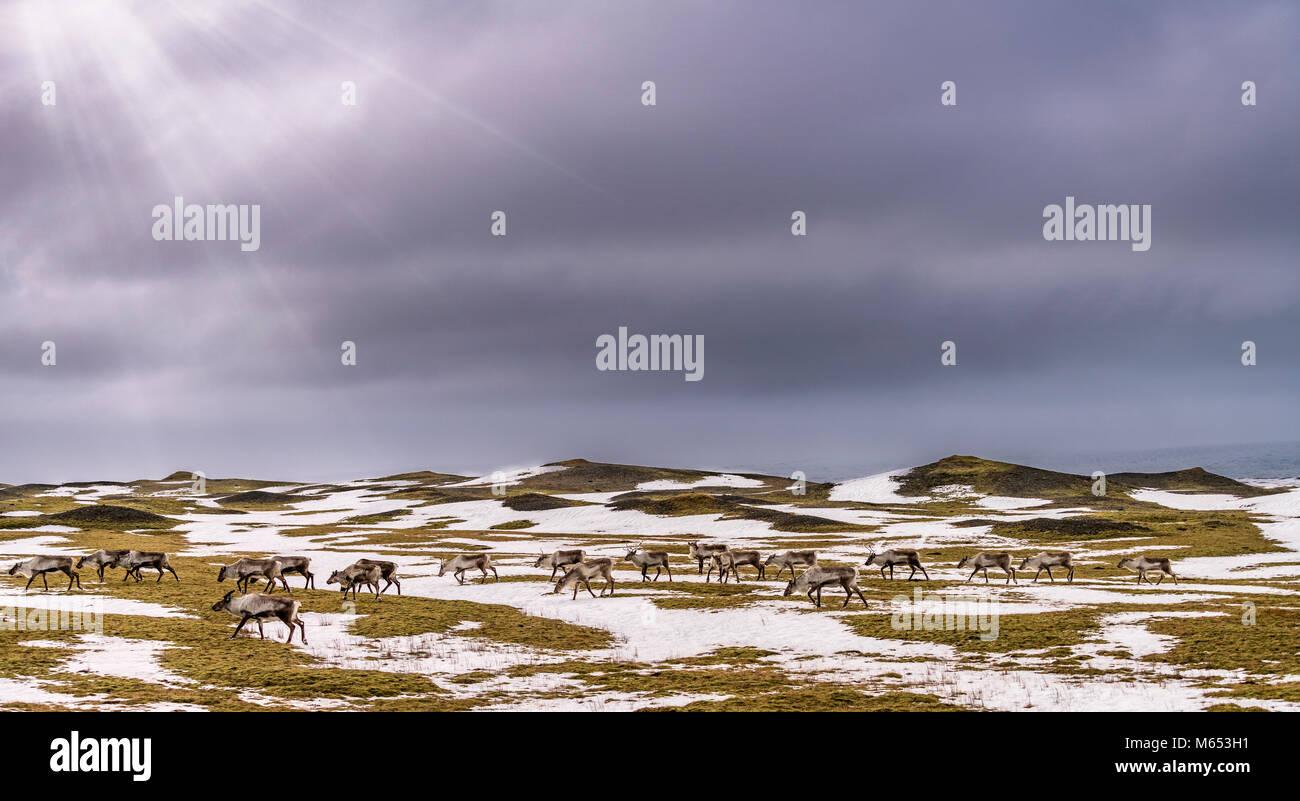 Herde Rentiere grasen, Südküste, Island Stockbild