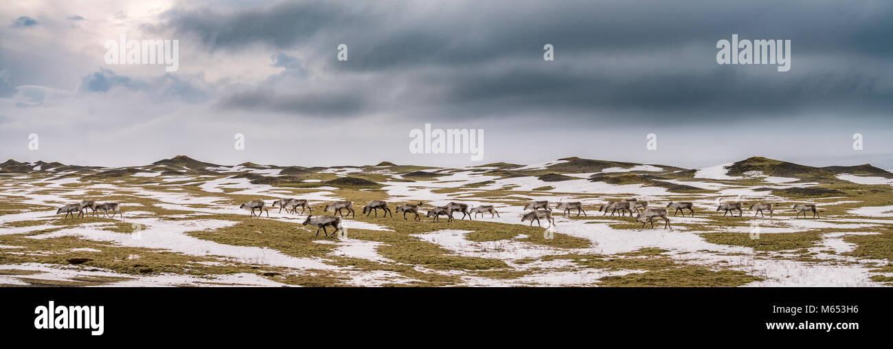 Herde Rentiere grasen, Südküste, Island Stockfoto