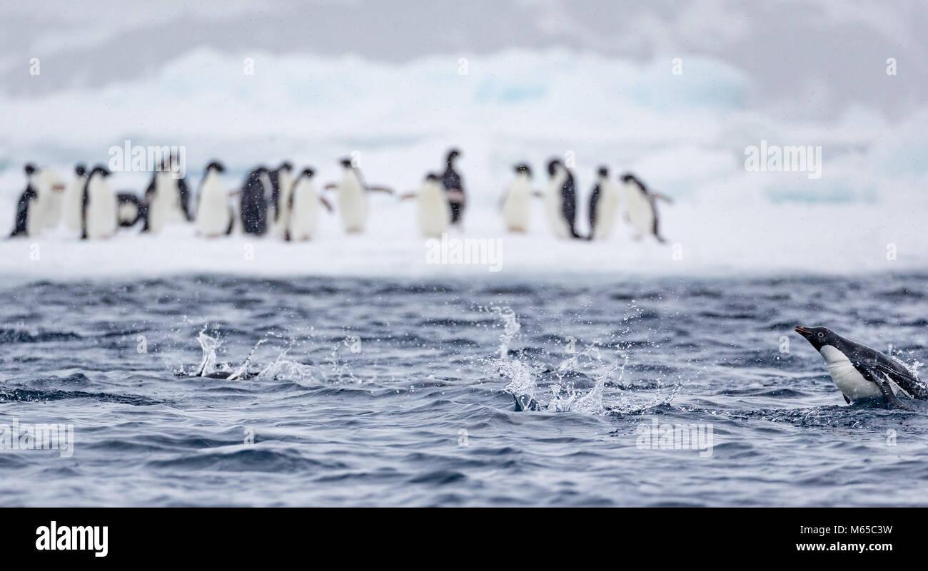 """Eine Adelie Pinguin schwimmen die Schweinswale"""" hinter anderen Adelie Pinguine stehen auf einer Eisscholle Stockbild"""