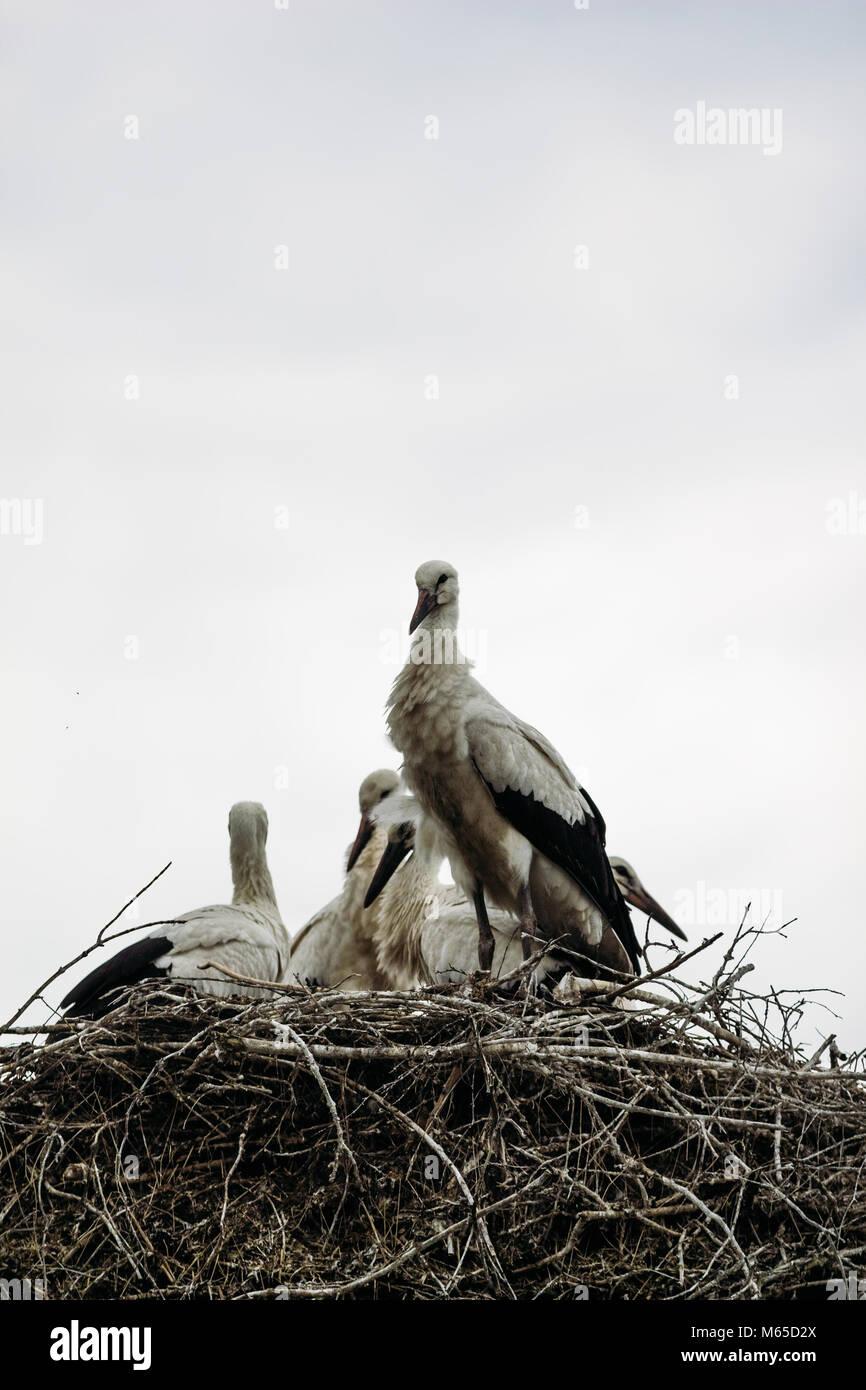 Störche in der Natur sitzen im Nest Stockbild