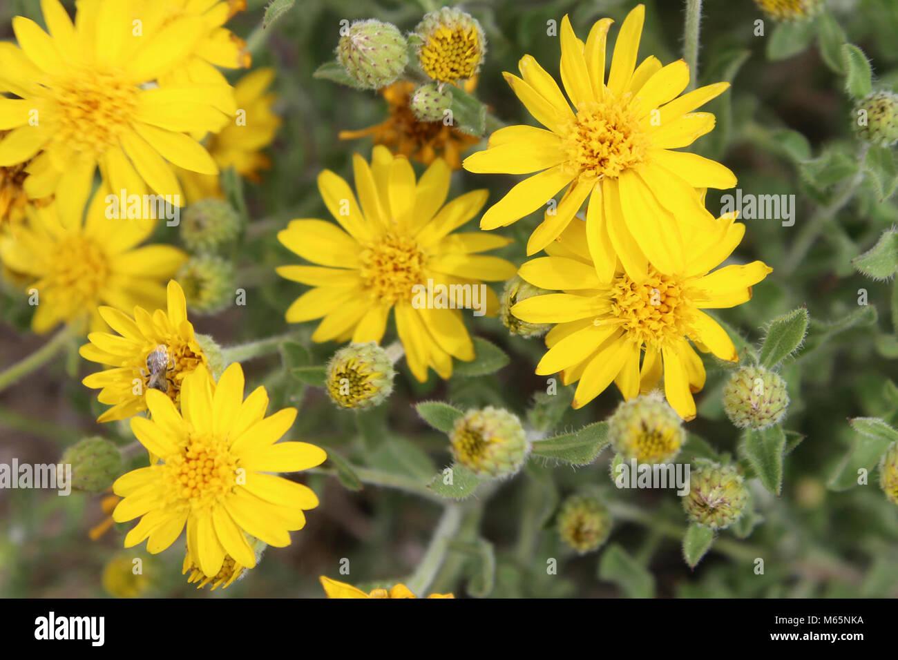 Haarige false goldenaster (Heterotheca villosa). 05-14-17_9152 Stockfoto