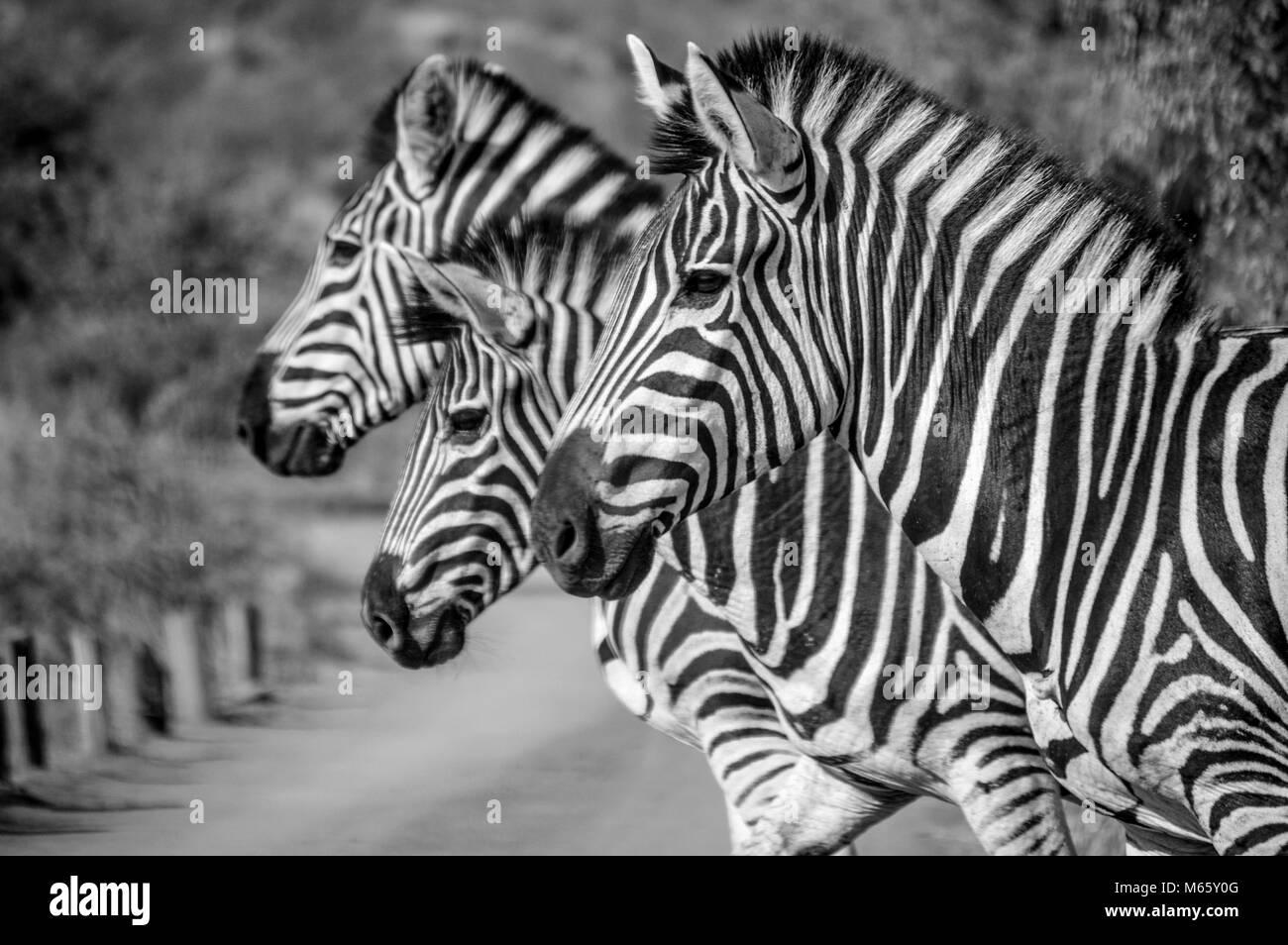 Drei Zebra posieren für mich in Afrika Stockbild