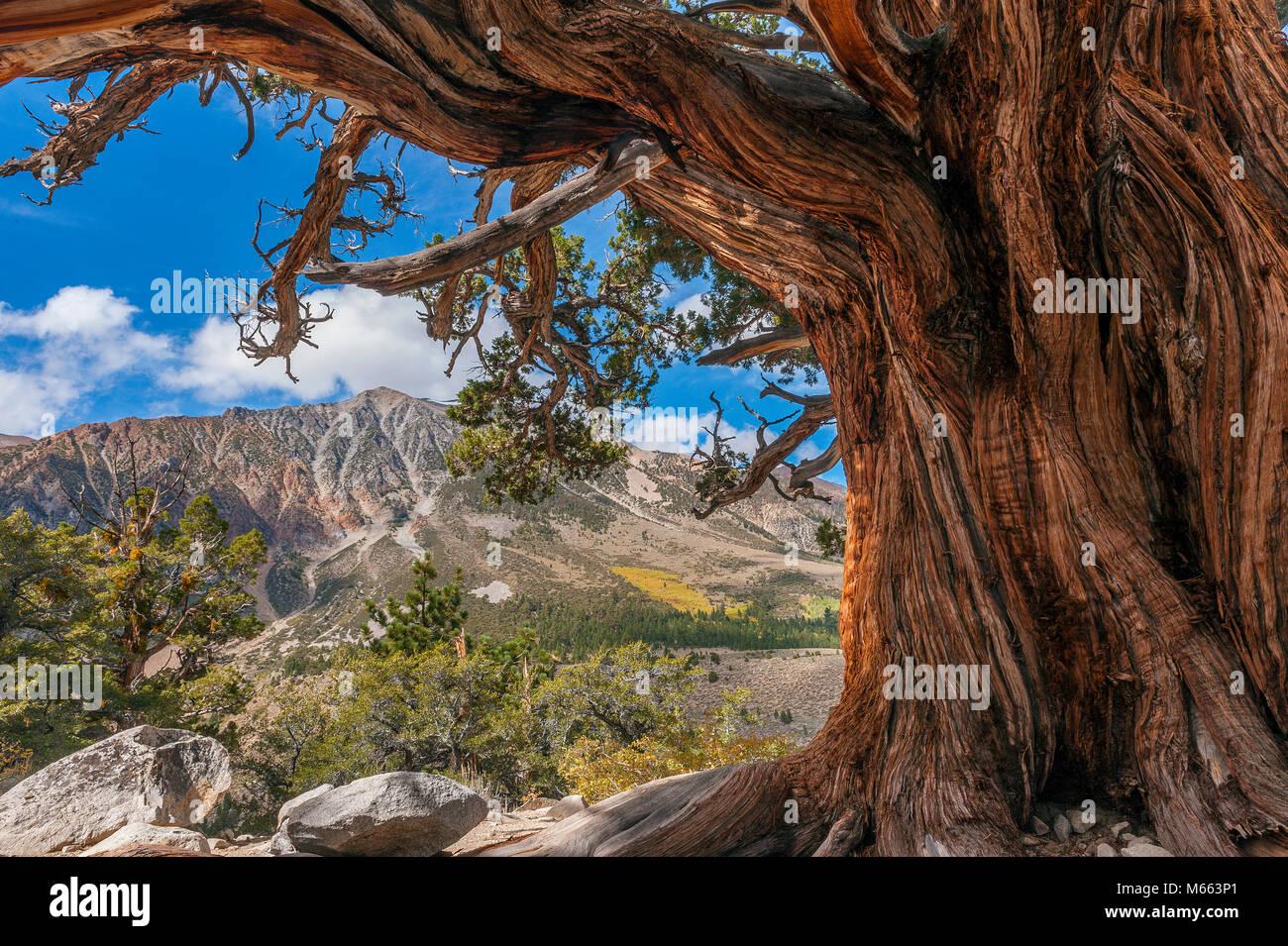 Zeder, Mount Gibbs, Mount Dana, östlichen Sierra, Inyo National Forest, östlichen Sierra CA Stockbild