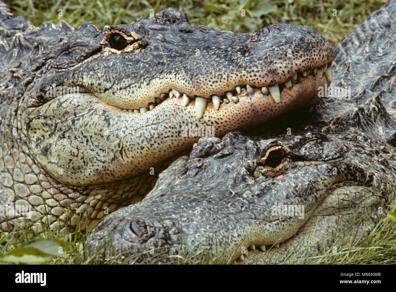 Zwei Alligatoren Alligator mississippiensis AUF KAMERA-kz 2615 GER ...