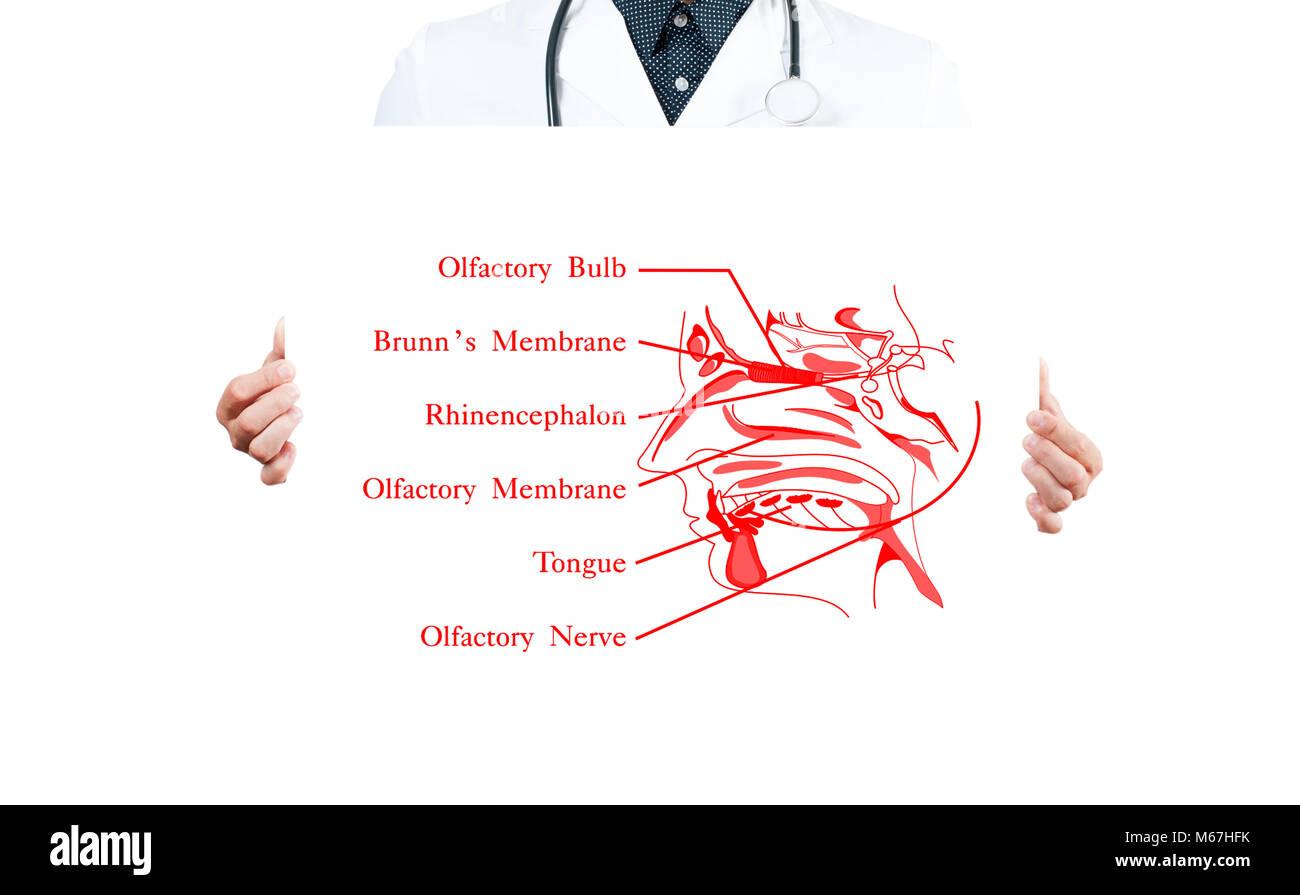 Olfactory Nerve Stockfotos & Olfactory Nerve Bilder - Alamy