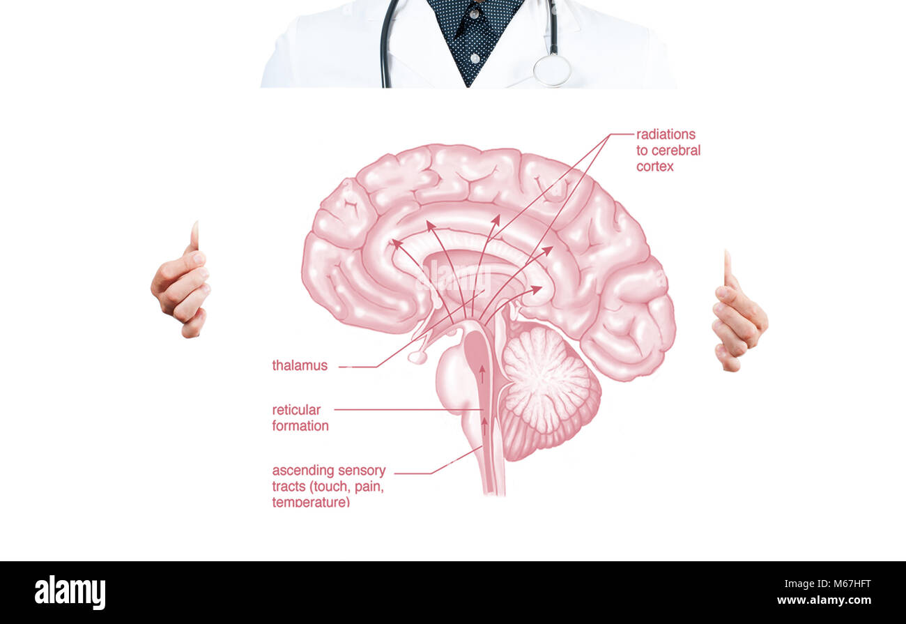 Cerebral Diagram Stockfotos & Cerebral Diagram Bilder - Alamy