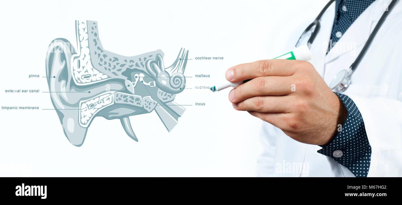 Medizin Konzept. Arzt und menschliche Ohr Anatomie Stockfoto, Bild ...