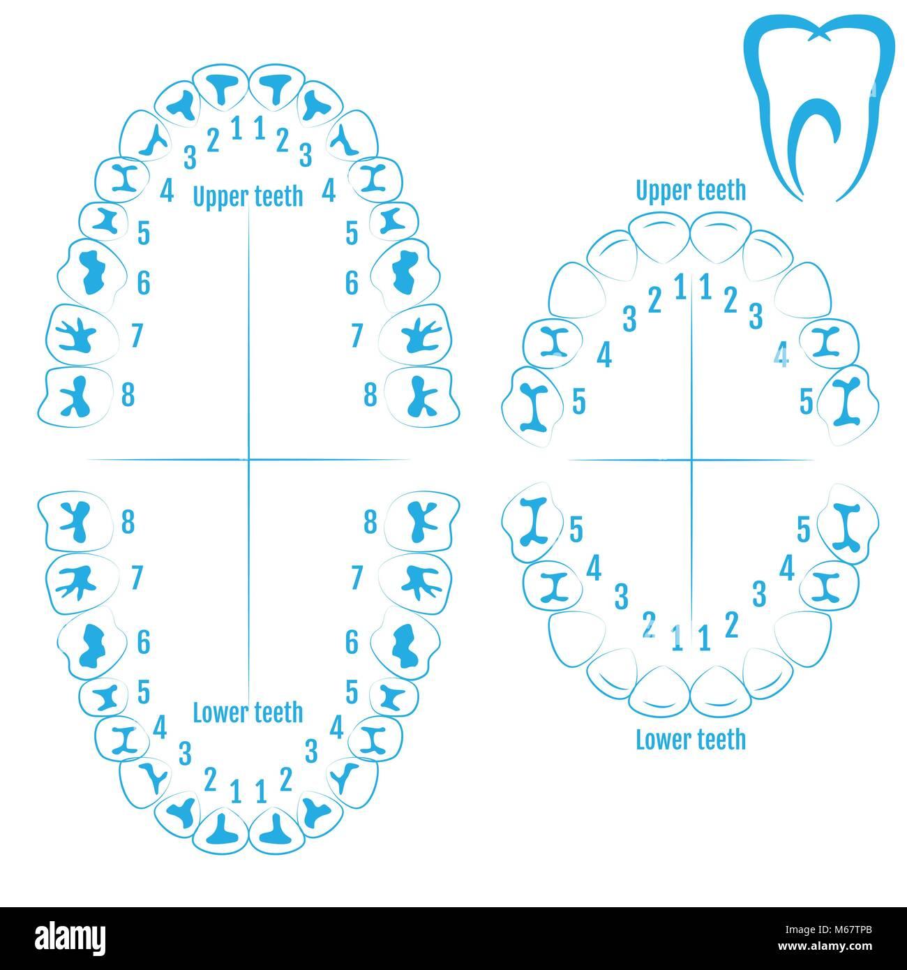 Ungewöhnlich Zähne Modelle Zahnanatomie Galerie - Menschliche ...