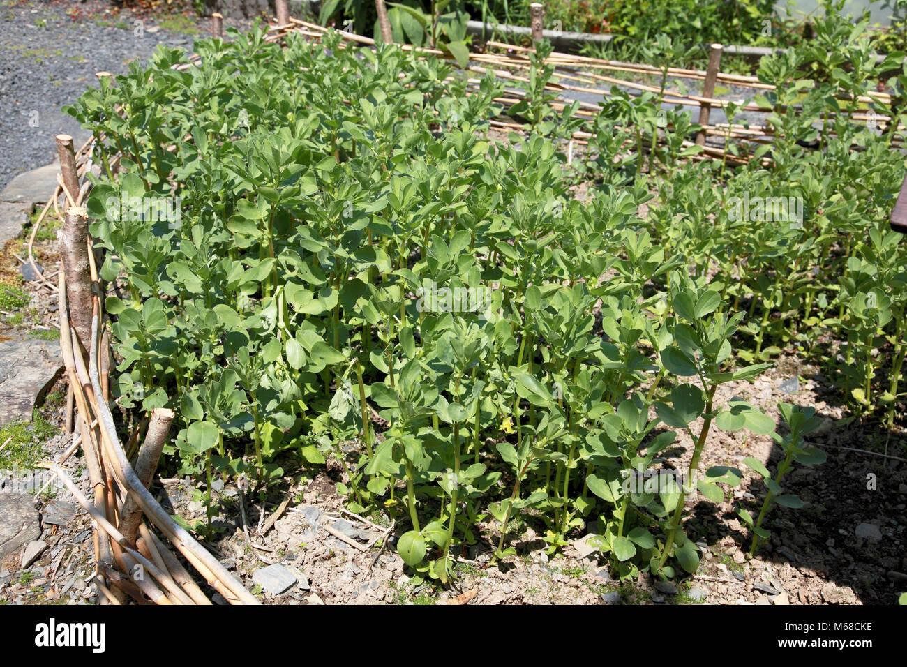 """Ackerbohnen angebaut werden als """"Gründüngung"""" in das Zentrum für alternative Technologie, Stockbild"""