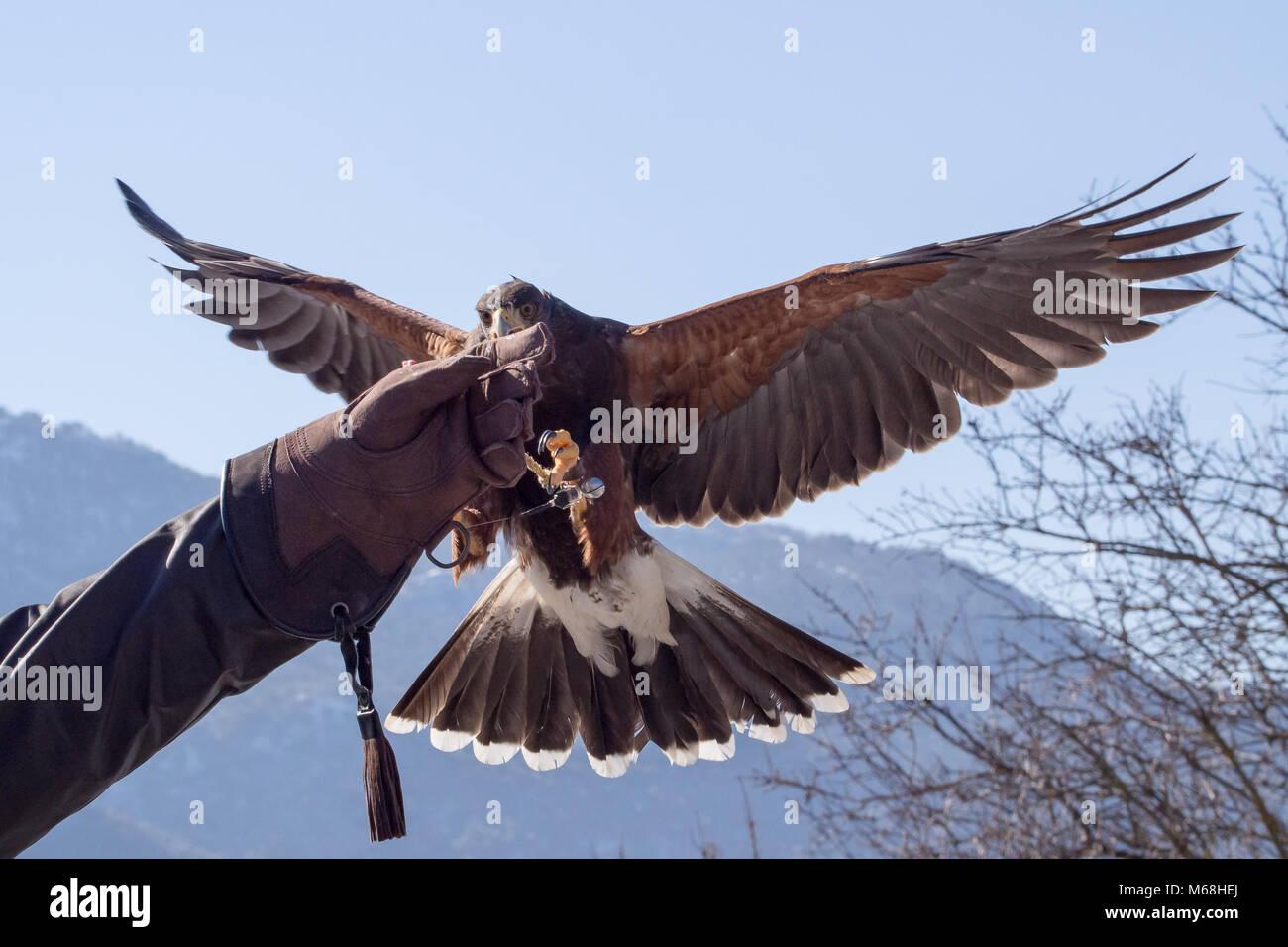 Harris Hawk (Parabuteo unicinctus) Landung in einer Falknerei Handschuh in einer Ausstellung Stockbild