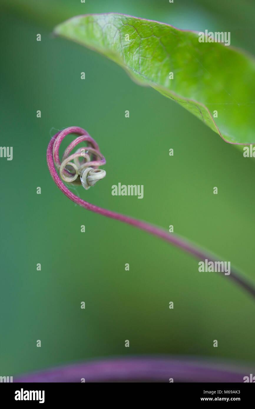 Leidenschaft Blume Ranke, Passifloraceae, London 2016 Stockbild