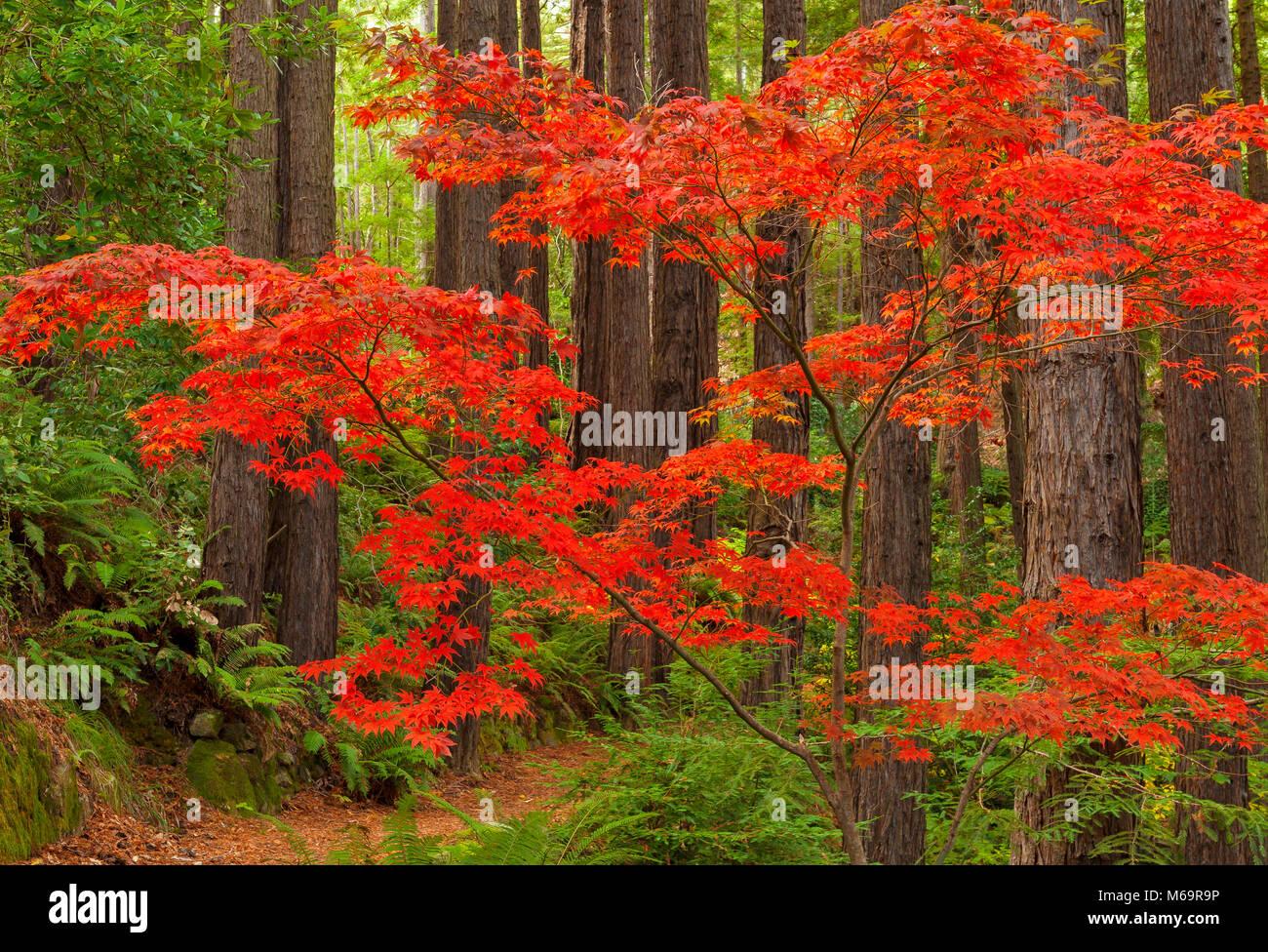 Japanischer Ahorn, Mammutbäume, Farn Schlucht Garten, Mill Valley, Kalifornien Stockbild