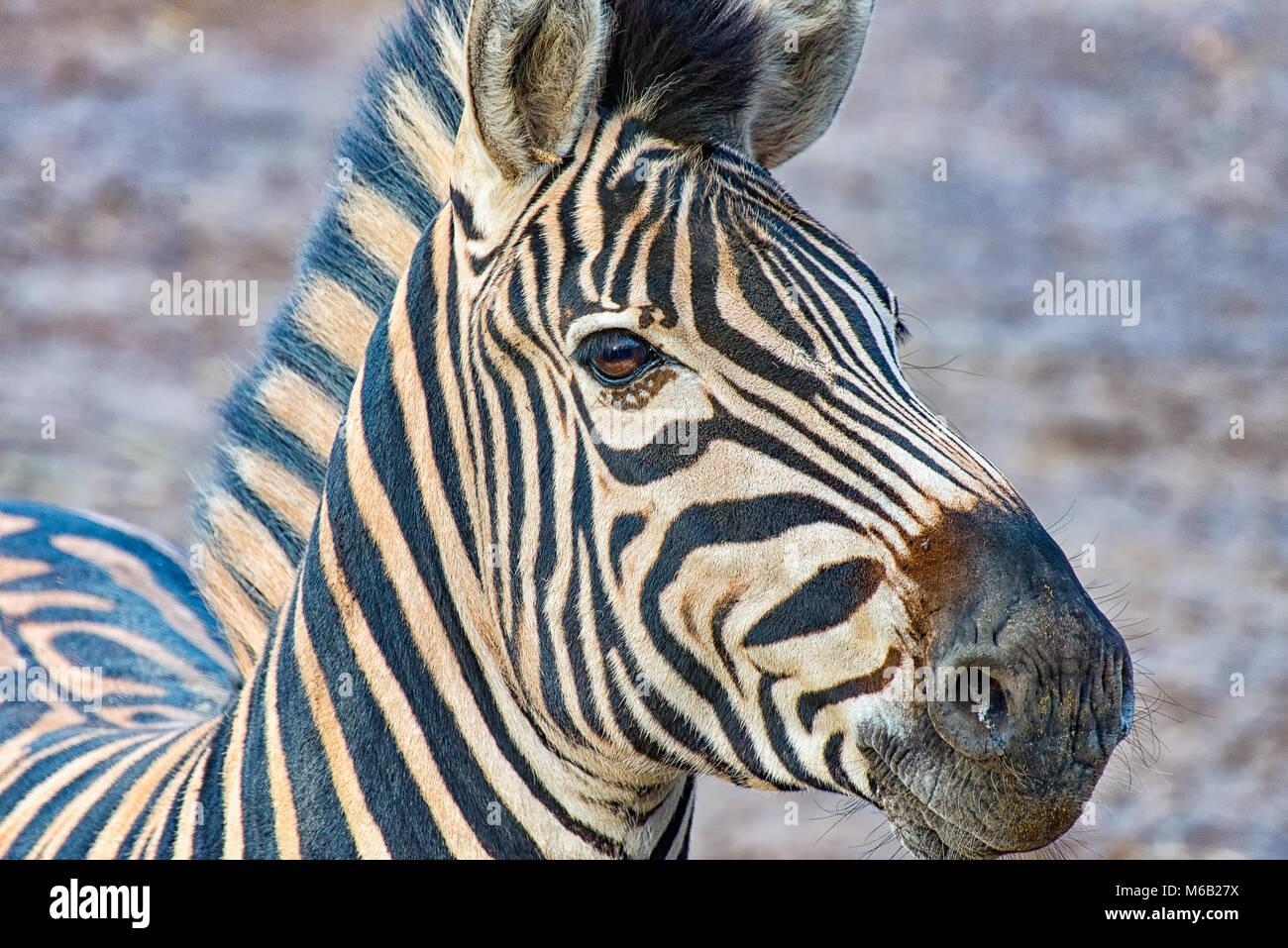 Kopf eines Zebras Stockfoto
