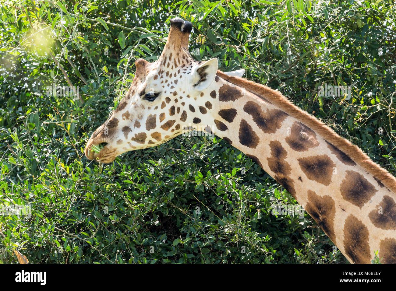 """Rothschild Giraffe surfen, Falls National's """"urchison Park', Uganda, Afrika Stockbild"""