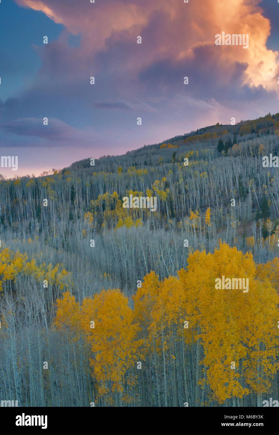 Sonnenuntergang, Aspen, Populus tremuloides, Boulder Mountain, Dixie National Forest, Utah Stockbild