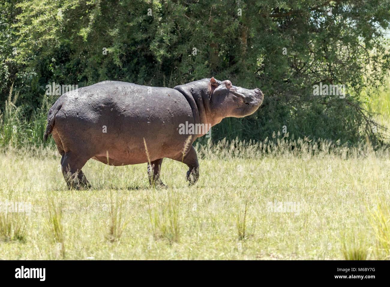 """Flusspferd (Hippopotamus amphibius), Falls National's """"urchison Park', Uganda, Afrika Stockbild"""