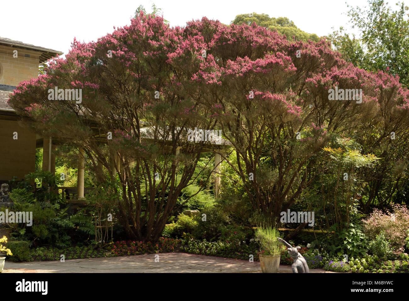 Besen Tee - Tree, Leptospermum scoparium auf Garnish Island Stockbild