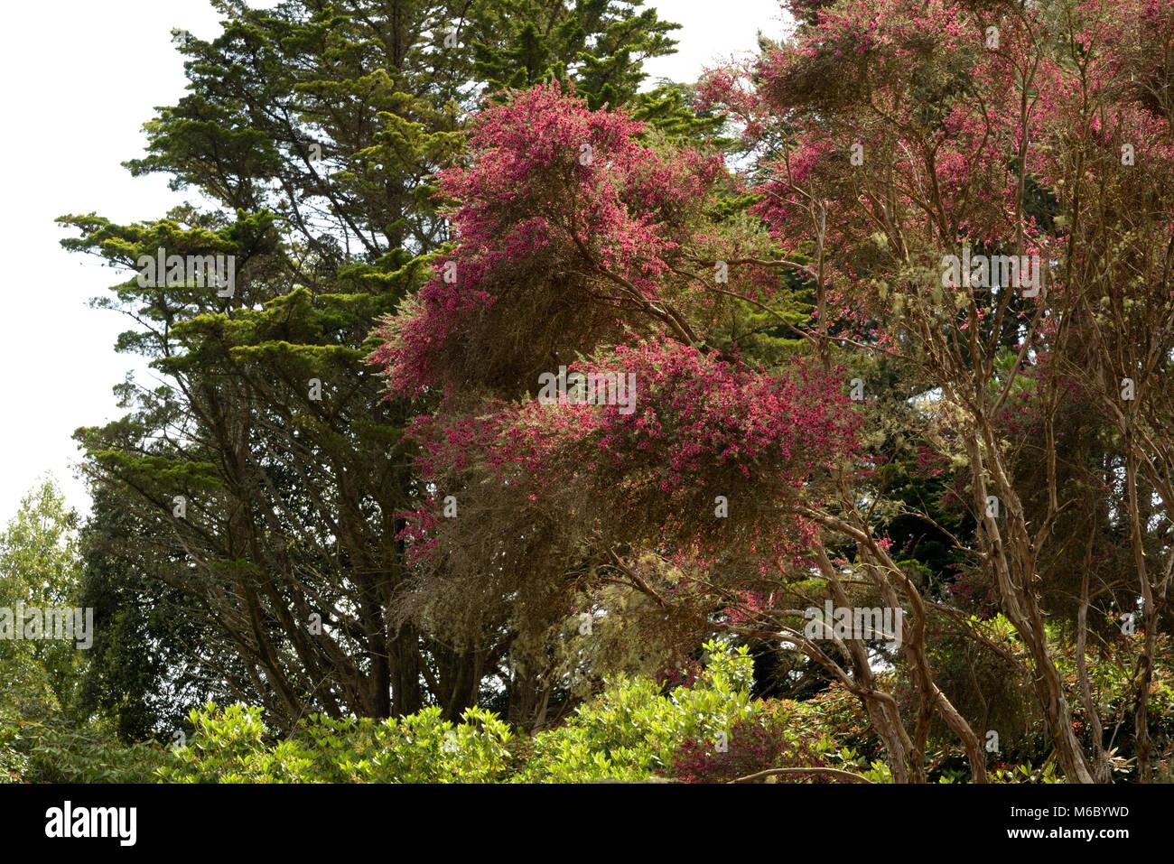 Besen Tee - Tree, Leptospermum scoparium Stockbild