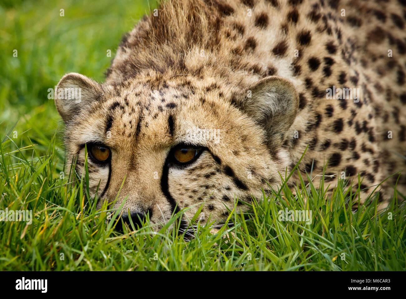 Nahaufnahme von Gepard lag mit dem Gesicht nach unten auf Gras Stockbild