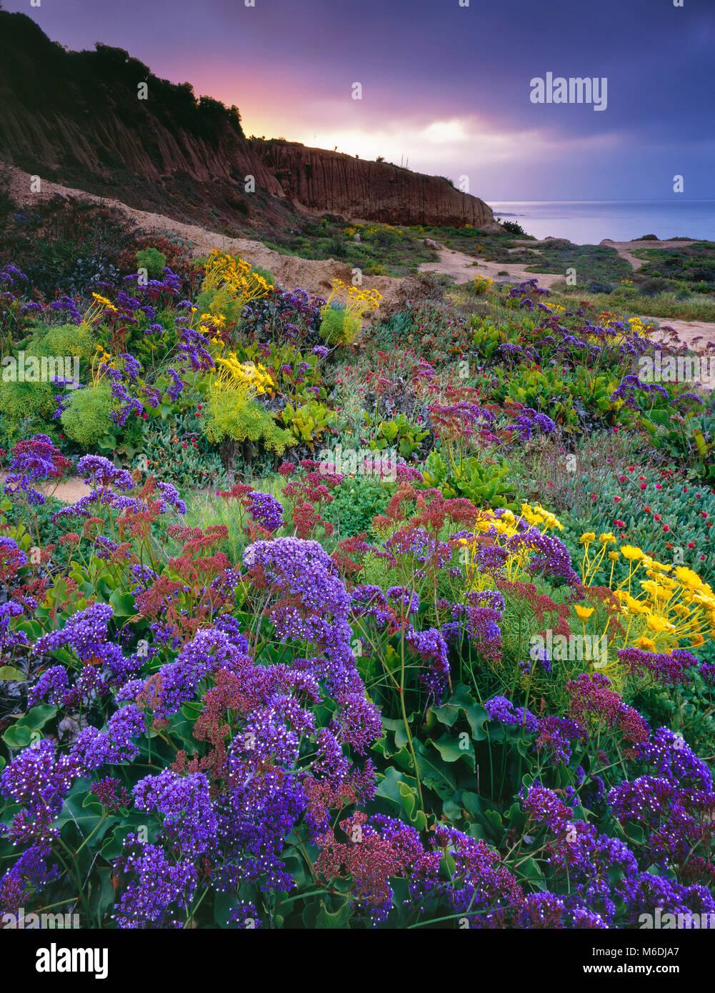 Dawn, Lavendel, limonium latifolium, Leo Carillo State Beach, Malibu, Kalifornien Stockbild