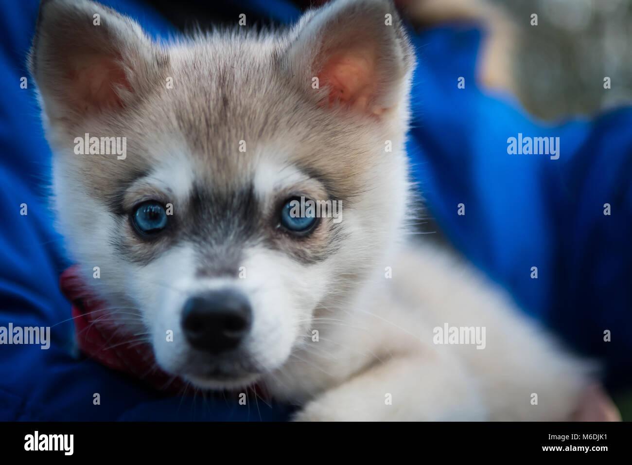 Mini Husky Stockfotos Mini Husky Bilder Alamy