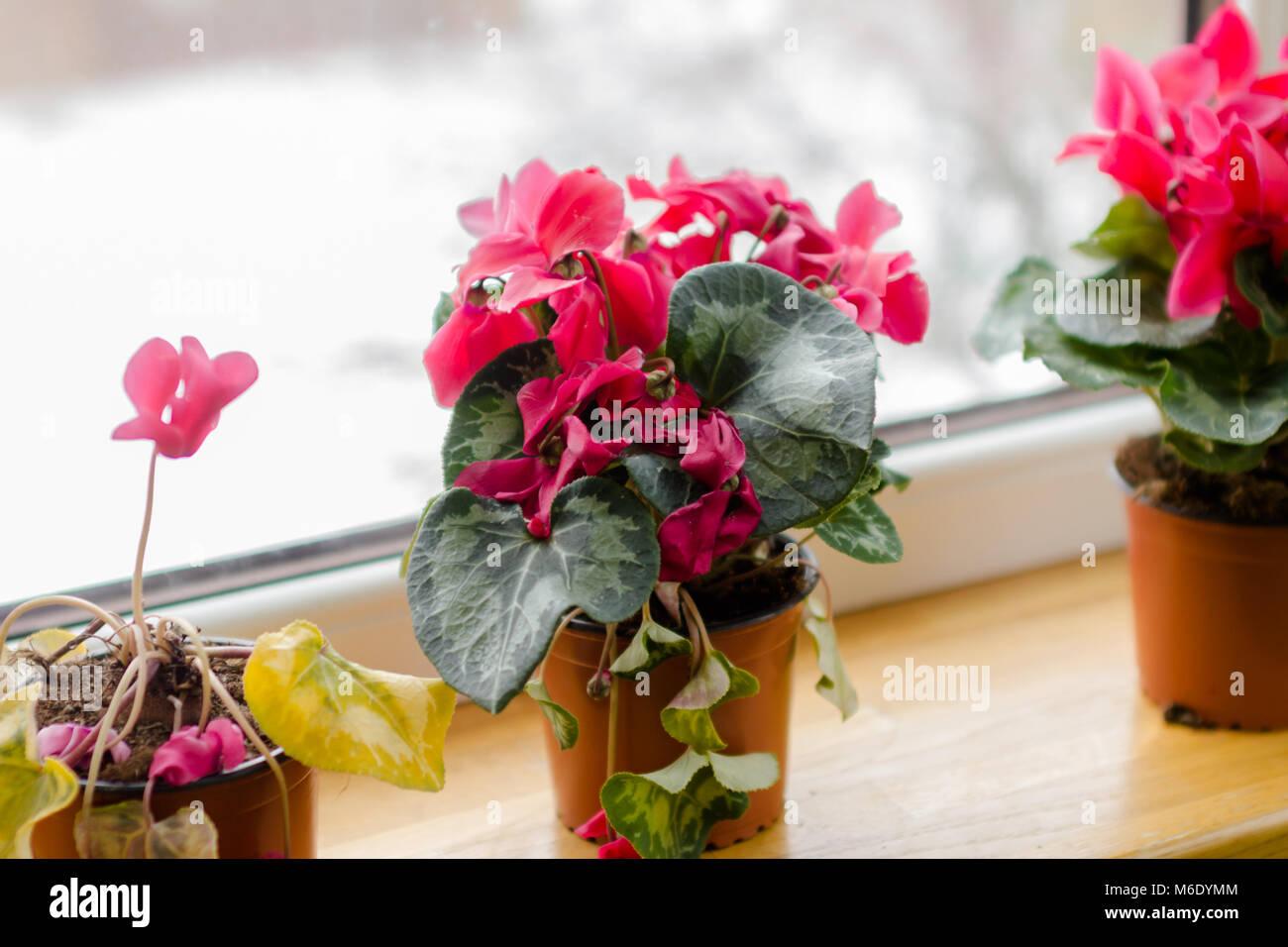 Sycamore Rot Cyclamen Blumen Im Topf Auf Einem Fenster In Balkon